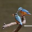 4月になりました! 野鳥たちの様子も、いよいよ春の訪れを感じさせてくれるようです。 早速、板津先生のコメントと、さらには私がお伺いできた撮影裏話まで、 どーんとたっぷりお送りしますね^^!  * * * 琵琶 […]