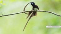 夏真っ盛り、皆様いかがお過ごしでしょうか。 今日は野鳥ギャラリーをお届けいたします。 板津先生のコメントと共に、早速ご覧ください!  1.夏はやはりサンコウチョウですね。長い尾羽は実に見事です。 遠方の大阪や […]