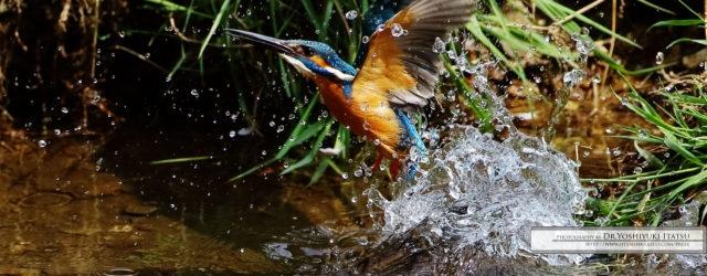 こんにちは。 今日は野鳥ギャラリーをお届けいたします。 5月の色鮮やかな野鳥の世界を、 板津先生のコメントと共にどうぞさっそくご覧ください。  ***  オシドリはほとんど高所に帰っていきました。 […]