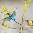 全国各地でお花見のシーズンがやってきました。 名古屋でも満開の時期が過ぎた頃ですが、 今日の雨で桜もだいぶ落ちてしまったかもしれません。ちょっと残念ですね。  さて今日はお待ちかねの野鳥ギャラリーをお届けいた […]