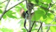 毎日猛暑が続きますね。 さて、お待ちかねの野鳥ギャラリーをお届けいたします。 今回はちょっと変わり種の1枚も! さっそく、板津先生のコメントと共にお楽しみください。  *** サンコウチョウ、今年は巣がとても […]