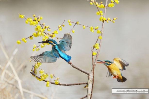 Photography by Dr.Yoshiyuki Itatsu