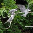 梅雨入り以来、お日様を拝める時間が減っています。 強い雨が降る時などは、外に暮らす鳥たちはこの雨を どうやり過ごしているのだろうと気になります。 今回の野鳥ギャラリーでは、自然の中で頑張っている家族をお届けいたします。  […]