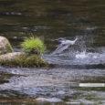 """毎日暑い日が続きますね。皆さまいかがお過ごしでしょうか。 気軽に外出もままならない今年のこの時期、板津先生から涼し気なお写真が届きました! 今回もどうぞ野鳥たちの姿をどうぞお楽しみくださいませ! 矢作川の本流で、幼顔の"""" […]"""