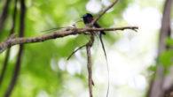 """7月に入りましていよいよ夏の到来です。今日も私たちの目を楽しませてくれる野鳥ギャラリーをお届けいたします。さっそく板津先生のコメントと共にお楽しみください! 夏を象徴するサンコウチョウは東南アジアからやってきます。""""ツキ […]"""