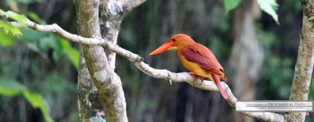 毎日暑い日が続きますね。今日はお待ちかねの野鳥ギャラリーをお届けいたします。店頭でもお写真を飾らせていただいておりますが、鮮やかなオレンジ色が目を引く可愛らしい鳥です。板津先生のコメントと共に早速お楽しみください。 幻の […]